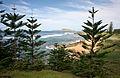 Araucaria heterophylla Norfolk Island 22.jpg