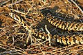 ArbeLevy-Vipera palaestinae 2.jpg