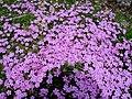Arctic Phlox Flowers (2519771071).jpg