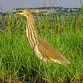 Ardeola grayii, Indian pond heron 6.jpg