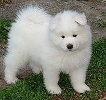 Samoyed dog - Wikipedia