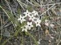 Arjona patagonica-flowers 01.JPG