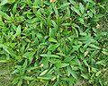 Arnica montana rosette markstein france.JPG