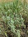 Artemisia pontica sl3.jpg