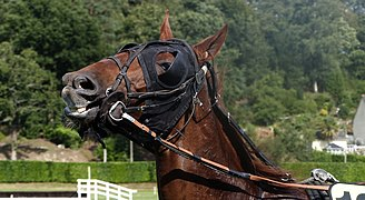 Artifices on a chestnut French Trotter horse, Guillac.jpg