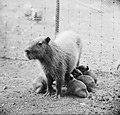 Artis-nieuws. Capibari met vijf jongen, Bestanddeelnr 912-9182.jpg