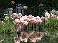 Artis Flamingo's (36376190222).jpg