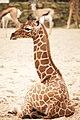 Artis Little Nzuri (7 days old) taking a rest (12994947574).jpg
