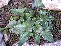 Arum pictum 1c.JPG