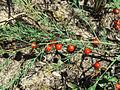 Asparagus officinalis Kiev.JPG