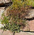 Asplenium septentrionale A. trichomanes A. ceterach 030208.jpg