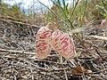 Astragalus ceramicus var. filifolius.jpg