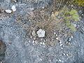 Astrophytum myriostigma (5699268255).jpg