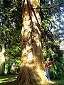August - Botanischer Garten Freiburg Redwood - 2013 - panoramio.jpg
