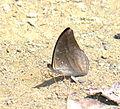 Auzakia danava albomarginata (25281049689).jpg
