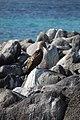 Ave en las islas Galápagos00.jpg
