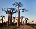 Avenue of Baobabs (45333912101).jpg