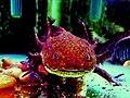 AxolotlCalisto.jpg