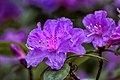 "Azalea Japonica ""Blaue Donau"" (17043837960).jpg"