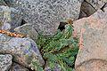 Babia Góra – Różeniec górski (Rhodiola rosea).jpg