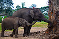 Baby elephant playing with the mother, Dubare Elephant Camp, Coorg, Karnataka.JPG