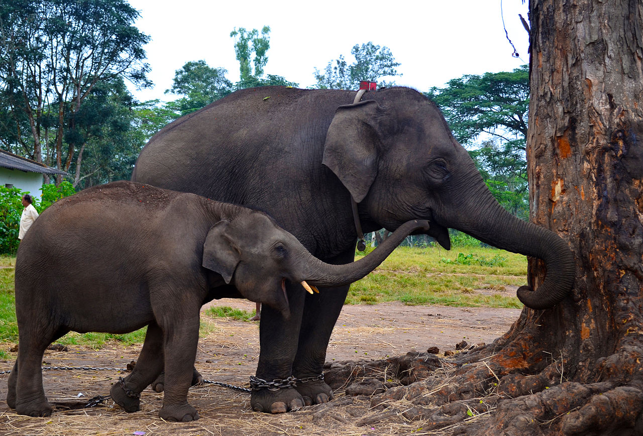 file baby elephant playing with the mother  dubare