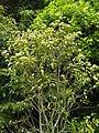 Backhousia citriodora kz03.jpg