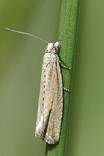 Tortricidae Family of tortrix moths
