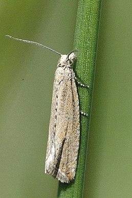 Obaleč sítinový (Bactra lancealana)