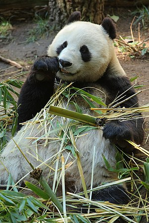 Bai Yun, a female Giant Panda at San Diego Zoo...