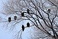 Bald Eagle Tree Roost (5658287744).jpg