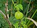 Balloon Vine (Cardiospermum grandiflorum) fruit (13951512573).jpg