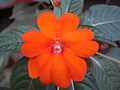 Balsam flower 1.JPG