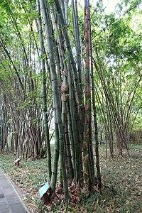 Bambus Wikipedija
