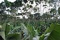 Banana and Tree plantation - panoramio.jpg
