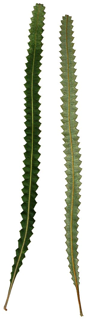 Banksia prionotes - Image: Banksia prionotes leaf