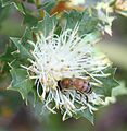 Banksia sessilis with bee.jpg