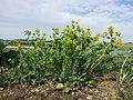 Barbarea vulgaris sl6.jpg