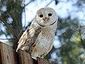 Barn Owl RWD1.jpg