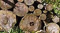 Baumstämme am Wegesrand vom Urfttal nördlich Nettersheim-0554.jpg