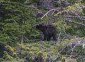 Bear 2 tree 121.jpg