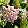 Beautyberry blossoms and Bee (8115444650).jpg