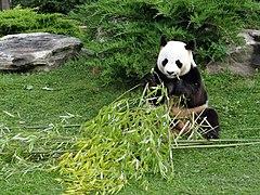 Beauval - Panda géant 07.jpg