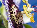 Bee on flower (9740854697).jpg