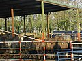 Beef cattle under cover - geograph.org.uk - 1073772.jpg