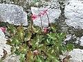 Begonia erythrophylla-xavier cottage-yercaud-salem-India.JPG