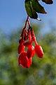 Begonia fuchsioides - Botanischer Garten Dresden (4).jpg
