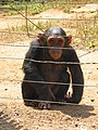 Belabo Chimp behind bars.jpg