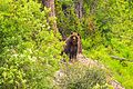 Bella Coola trip - Grizzly bear near Middle Lake (5892375571).jpg
