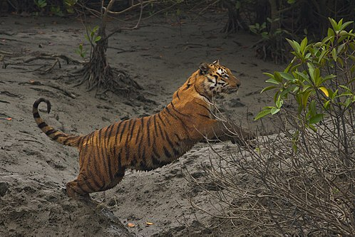 A 2015 census of Sundarbans Bengal tigers found 106 in Bangladesh and 76 in West Bengal. Bengal tiger jumping in Sundarban.jpg